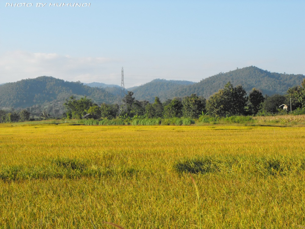 Plenty of Rice Field along the way to Chaing Rai