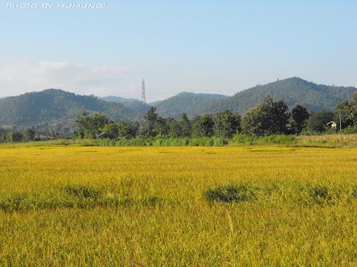 Plenty of Rice Field along the way to Chaing Rai